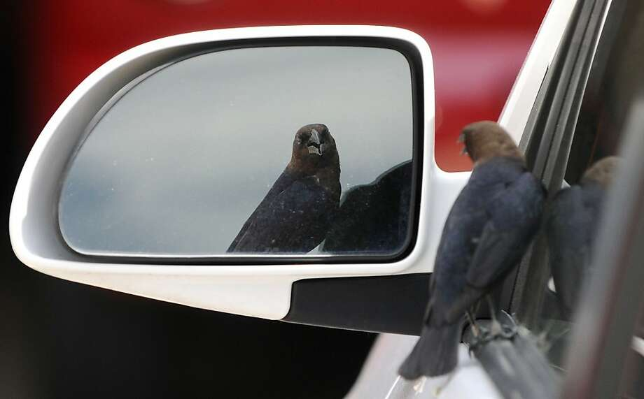 I'm not leaving until you do:According to the photographer, this brown-headed cowbird stared at its reflection without moving for five minutes in Coal Valley, Ill. Photo: Todd Mizener, Associated Press