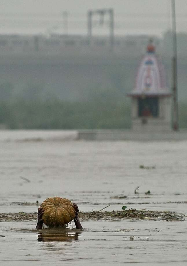 The gourd of the rains: A man salvages a pumpkin from the monsoon-swollen Yamuna River in New Delhi. The seasonal 