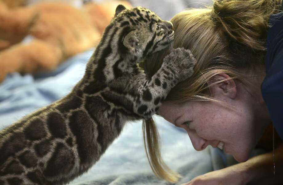 Head in the clouds:Point Defiance Zoo and Aquarium staff biologist Kadie Burrone offers her head as a climbing toy for Tien the clouded leopard cub. Tien discovers it also makes a fine scratching post. (Tacoma, Wash.) Photo: Janet Jensen, Associated Press