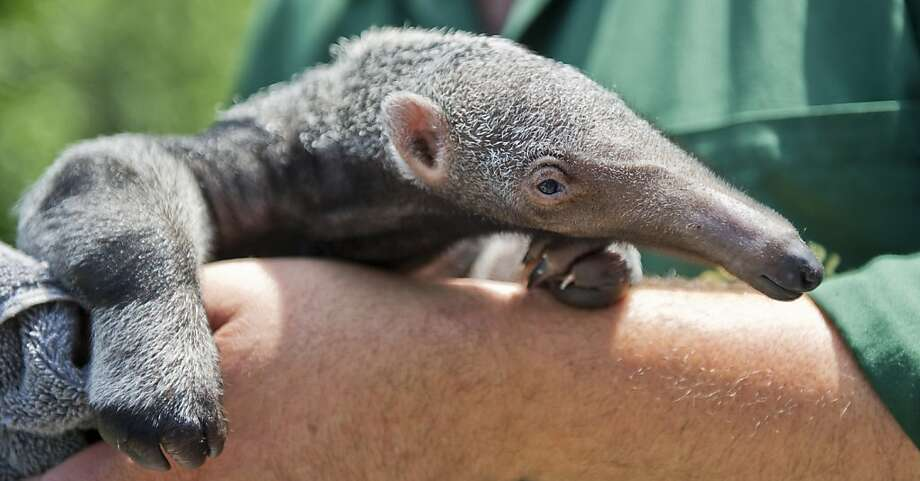 I don't like the look of that mole on your arm: For one thing, it's awfully big for a mole. For another, it just ate a bug off your elbow. (Berlin Zoo.) Photo: Ole Spata, AFP/Getty Images