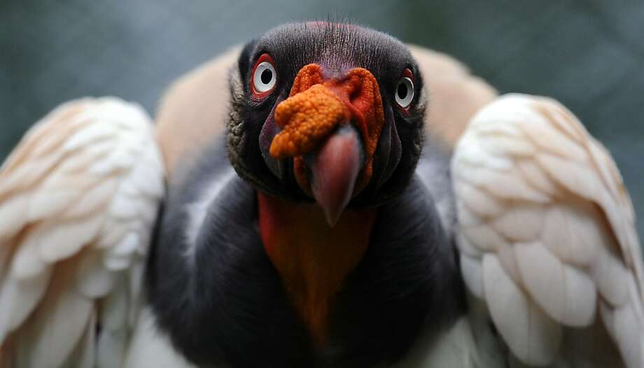 No, I didn't fly into a glass door. Why do you ask? A King Vulture perches on a trunk at the Zoo Summit outside Panama City. Photo: Rodrigo Arangua, AFP/Getty Images