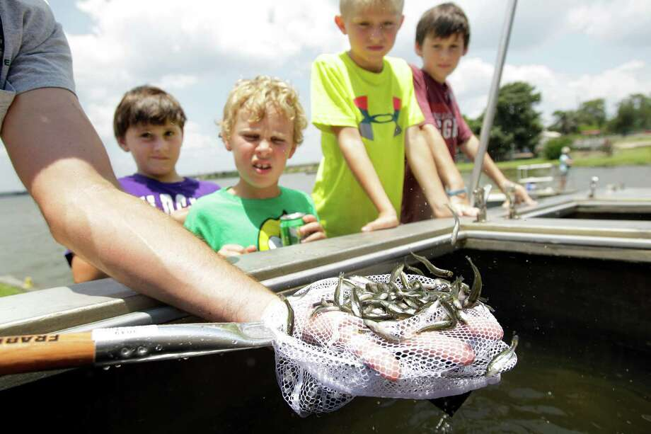 Dylan Huberty, 9, left, Colin Brown, 8, Nolan Otis, 9, and Ryan Huberty, 11, right, watch as Adam Hammons, a Fish and Wildlife Technician with Texas Parks and Wildlife, scoops fish out of a tank to be loaded onto boats during an event with Lake Houston Sports & Recreation to distribute 100,000 Florida hybrid bass at Lake Houston Wednesday, June 19, 2013, in Huffman.  The one and a half inch long fish were trucked by Texas Parks & Wildlife from the Texas Freshwater Fisheries Center in Athens. The fish were loaded onto several boats and distributed around the lake by volunteers with Lake Houston Sports & Recreation. Photo: Melissa Phillip, Houston Chronicle / © 2013  Houston Chronicle