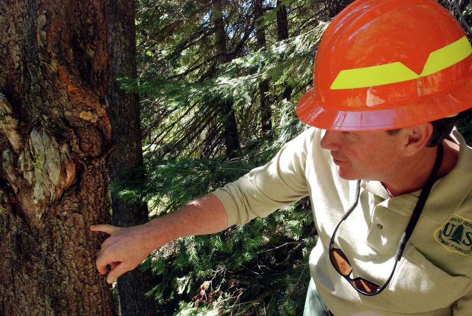 FILE - In this Sept. 8, 2009, file photo District Ranger Bill Gamble points out a telltale hole indicating pine beetles have attacked a tree in the Umpqua National Forest in Diamond Lake, Ore. Overwhelmed by a combination of government austerity and the sheer cost of firefighting, key federal agencies are spending less money clearing brush or removing deadwood killed by parasites, that could prevent further wildfires in the future.  (AP Photo/Jeff Barnard, File) Photo: JEFF BARNARD