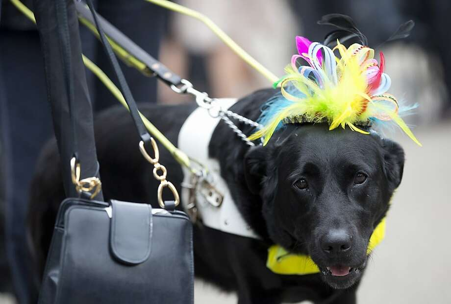 Zoey a guide dog for the blind is dressed up with her own bonnet by her owners,  on the third day traditionally known as Ladies Day of the Royal Ascot horse race meeting in Ascot, England, Thursday, June 20, 2013. Photo: Alastair Grant, Associated Press