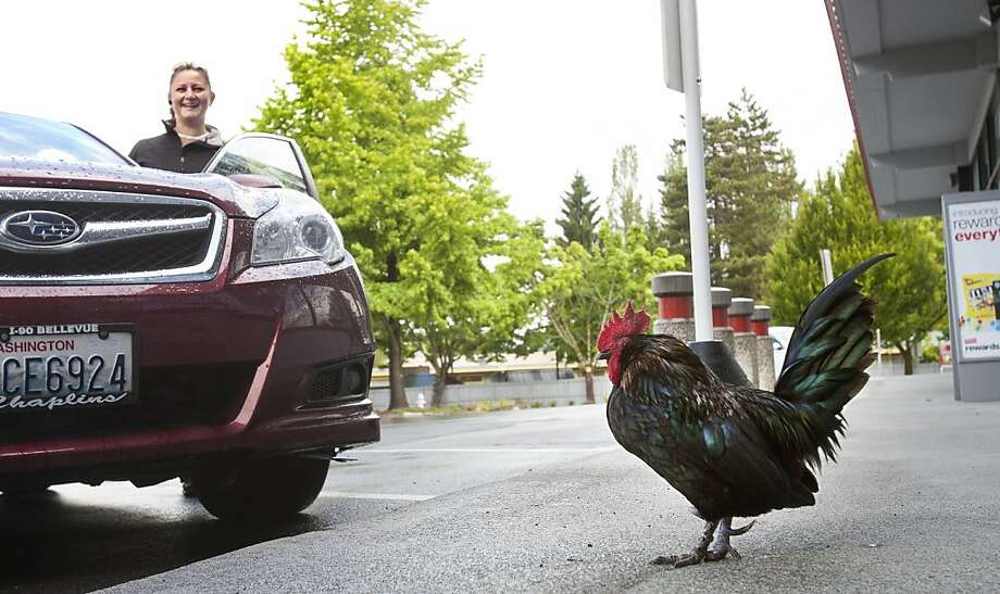 Afternoon, ma'am. We have a great deal today on printer paper ... Townspeople in Issaquah, Wash., say McNugget the rooster has been wandering the parking lot of a Staples for 11 years. Why he chose a Staples, no one knows, but he does get regular handouts of feed from customers and local residents. Photo: Mike Siegel, McClatchy-Tribune News Service