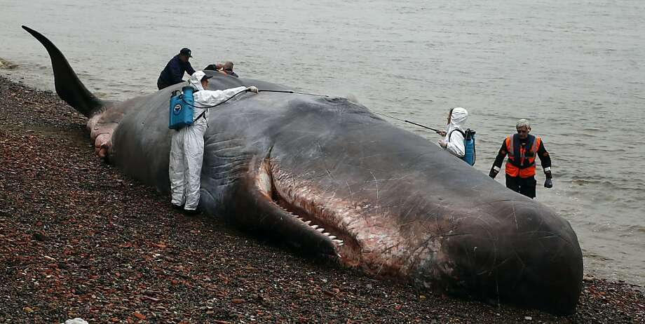 Moby trick:A 55-foot-long sperm whale lies on the bank of the River Thames in London, which would be of great interest to marine biologists if in fact it were an actual cetacean. But it's just a life-size model made by Belgian artists known as Captain Boomer for the Greenwich and Docklands International Festival. Photo: Frank Augstein, Associated Press