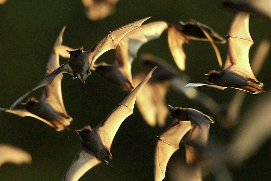 In the 1960s, bats from Bracken Cave were slamming into Air Force planes and getting sucked into their engines. Photo: Billy Calzada, San Antonio Express-News