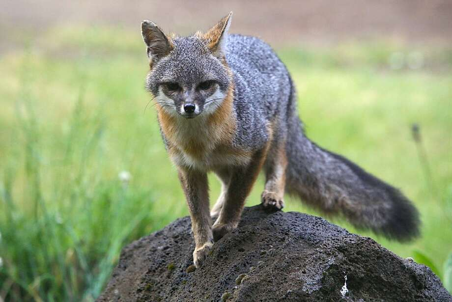 Tom Stienstra was hidden behind a bush in a national forest in hopes of photographing a newborn fawn and doe. Instead, this gray fox with touches of red coloring appeared. Photo: Tom Stienstra, San Francisco Chronicle