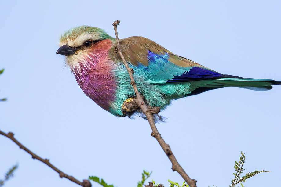 The lilac-breasted roller, found in eastern and southern Africa, perches in the open to hunt for insects, grasshopers, lizards and mice. Photo: Kathy Adams Clark / Kathy Adams Clark/KAC Productions