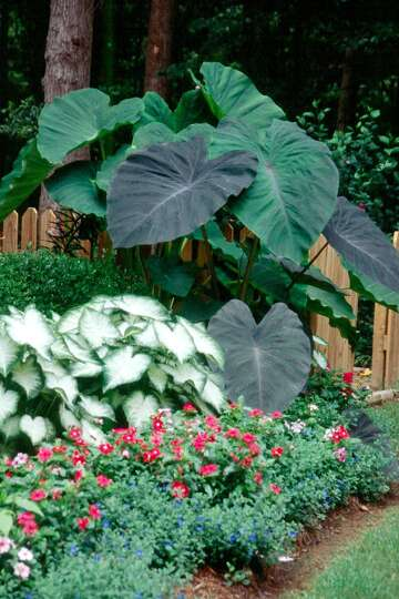Elephant Ears Finally Bloom Houstonchronicle Com