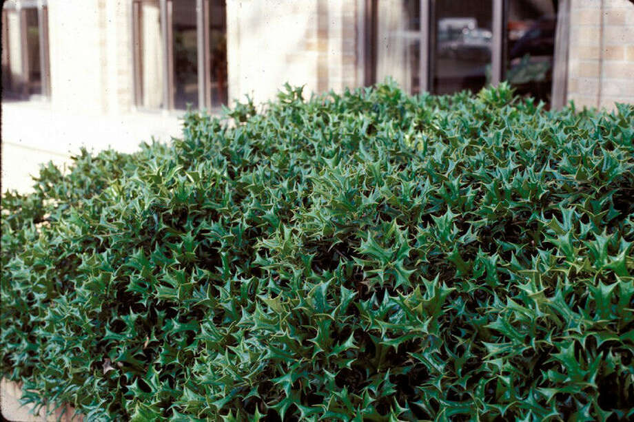 Dwarf Chinese holly, with its formidable leaves, makes a hedge that discourages foot traffic as well as deer. Photo: Texas A&M University