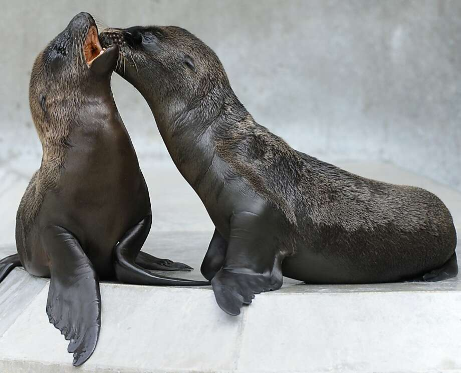 Not tonight, Horst, I have a headache:Nothing spoils romance like herring breath. (Munich Zoo.) Photo: Christof Stache, AFP/Getty Images