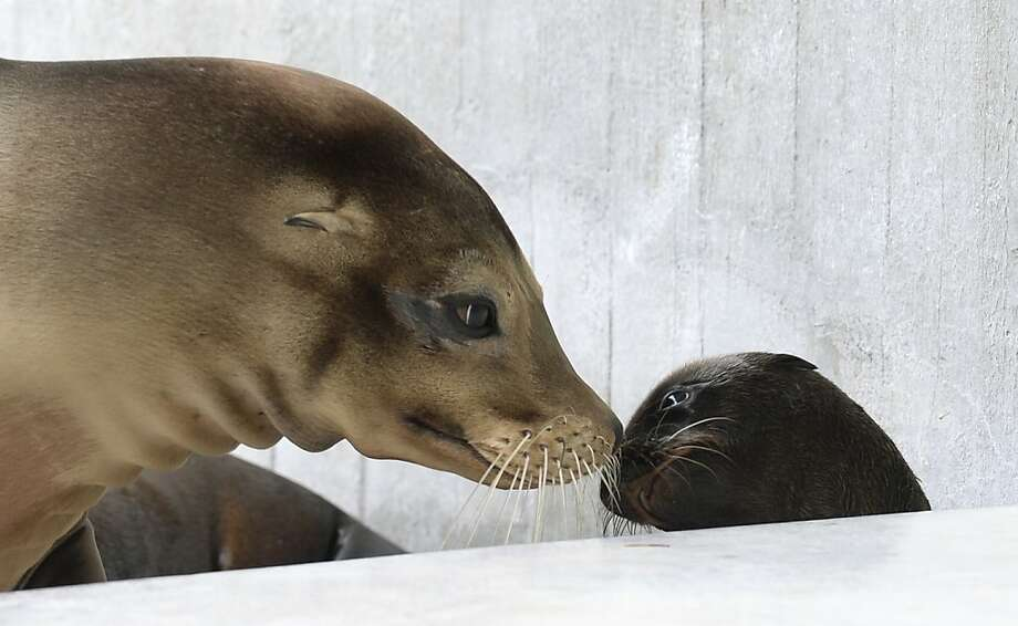 Eskimo kiss! Mother and baby sea lions rub noses in their enclosure at the Munich Zoo. Photo: Christof Stache, AFP/Getty Images