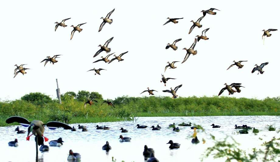 With blue-wing teal populations booming, federal officials will this week consider a recommendation to increase the daily bag limit during the September teal-only hunting season  to six birds, up from the four-teal bag limit which has been in place since 1965.  Houston Chronicle photo by Shannon Tompkins Photo: Picasa