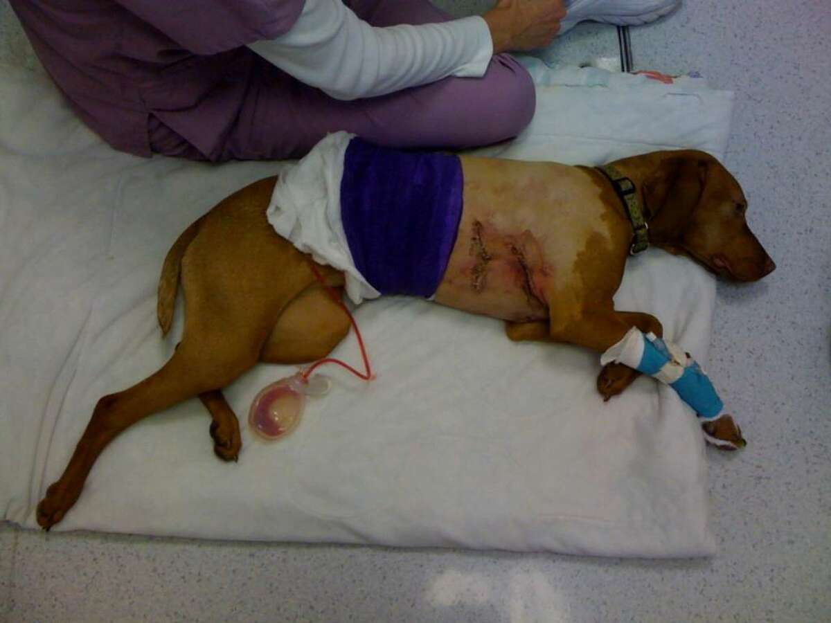Coco was mauled Monday afternoon after being attacked by a pit bull and St. Bernard mix while on a walk on the Millbrook Club golf course with owner Elizabeth Hutchins.