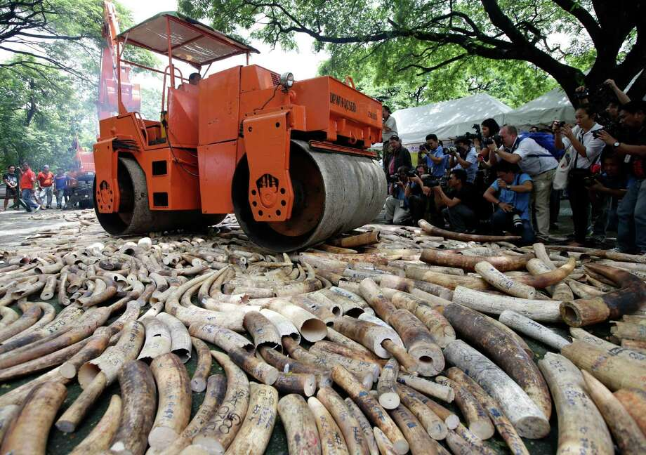 A steamroller is used to crush seized elephant tusks during a ceremony at the Protected Areas and Wildlife Bureau of the Department of Environment and Natural Resources in Quezon city, northeast of Manila, Philippines, Friday June 21, 2013. Philippine government workers used a backhoe and an incinerator Friday to crush and burn more than five tons of smuggled elephant tusks worth an estimated $10 million in the biggest known destruction of trafficked ivory outside Africa. Photo: AP