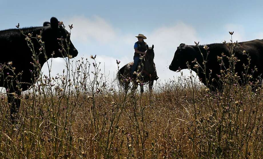 Ranch hand Stacy Claito tends to the herd at Leftcoast Grassfed in Pescadero, which raises cattle without antibiotics. Photo: Michael Macor, The Chronicle