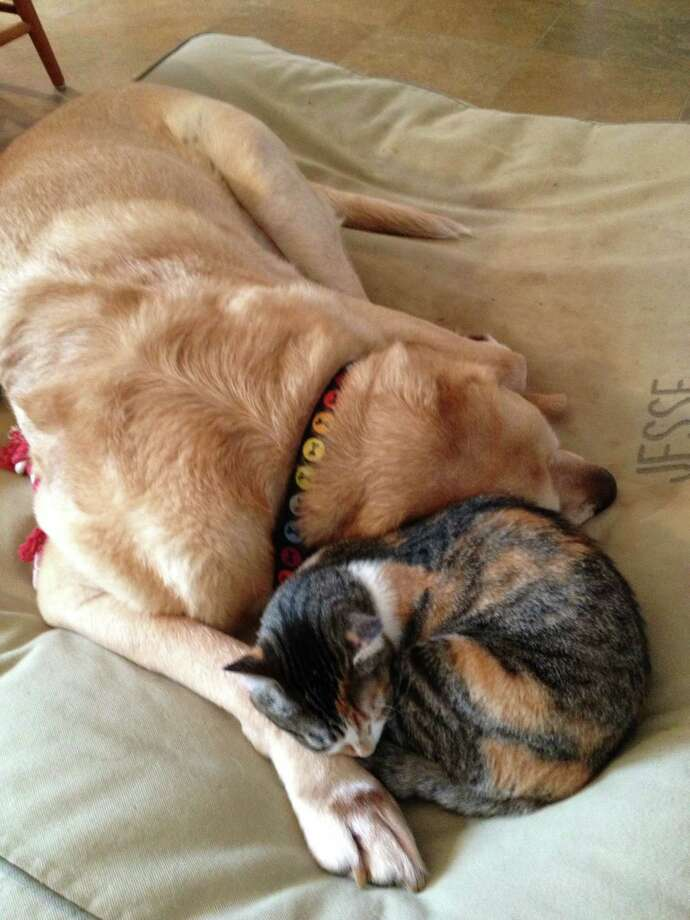 "Patricia Panton's 8-year-old Lab, Jesse, has really bonded with Lily, the adopted kitty, at their East Greenbush home. ""They do enjoy being together every day,"" says Patricia says.(submitted photo)"