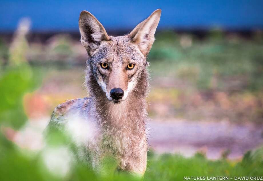 Coyote yearling.