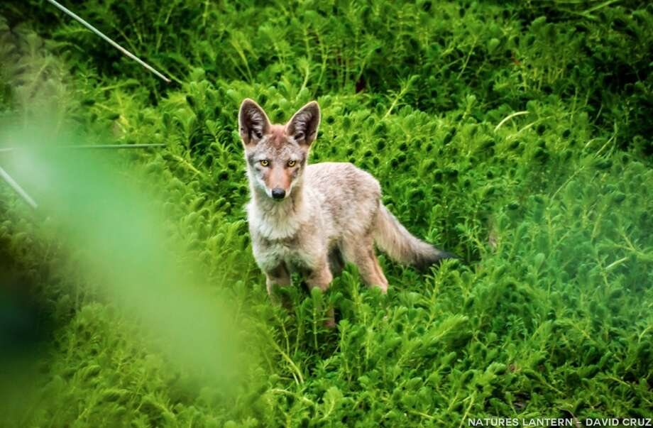 Young coyote spotted in Golden Gate Park.