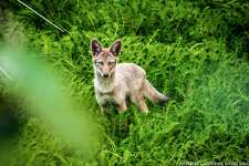 Young coyote spotted in Golden Gate Park
