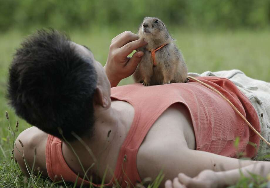 All dogs must be leashed in a Tokyo park, and that apparently includes prairie dogs. (Hiroyuki Ota and Cookie.) Photo: Shizuo Kambayashi, Associated Press