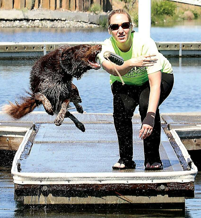Snag and splash: Chaps tries to get his chops on a baton tossed by Suzanne Morrell, a canine-dock diving enthusiast at Columbia Point Park Marina in Richland, Wash. Photo: Richard Dickin, Associated Press
