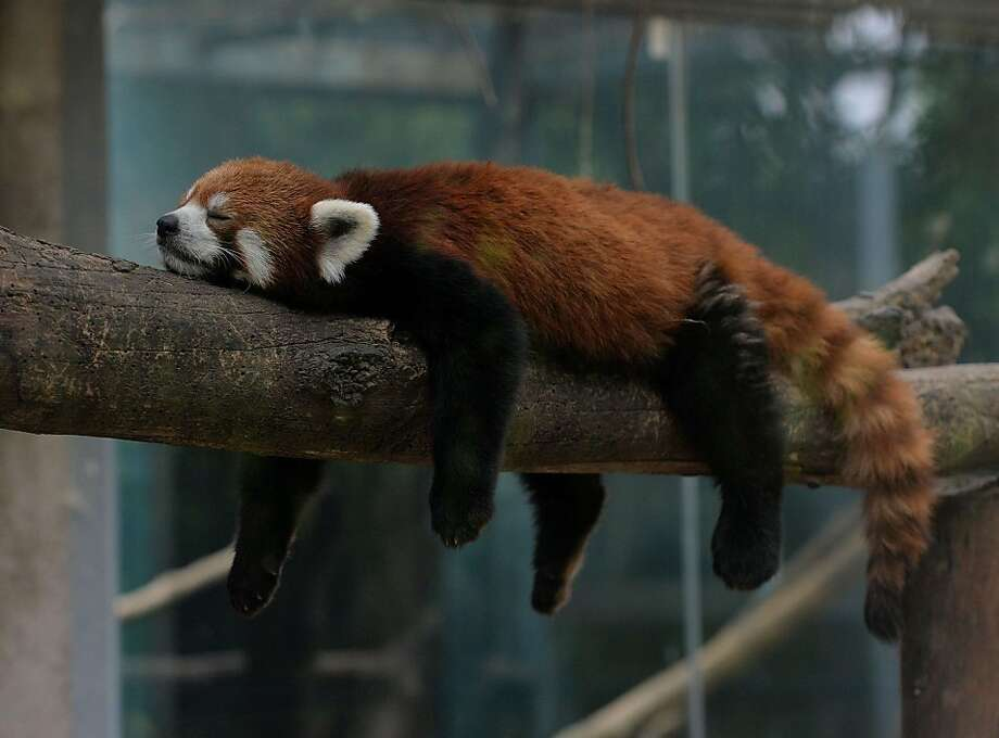 Not the adventurous type: In Washington, D.C., a red panda broke out of its pen Monday at the National Zoo and wandered about the nation's capital before being recaptured. Meanwhile, in Beijing, one of its cousins slept through the whole thing. Photo: Mark Ralston, AFP/Getty Images