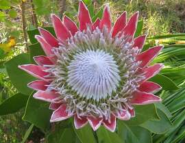 King protea blooms every year in the South African collection of the San Francisco Botanical Garden. Its flowerheads are up to a foot across, with a ring of bracts that range from pale pink to red.