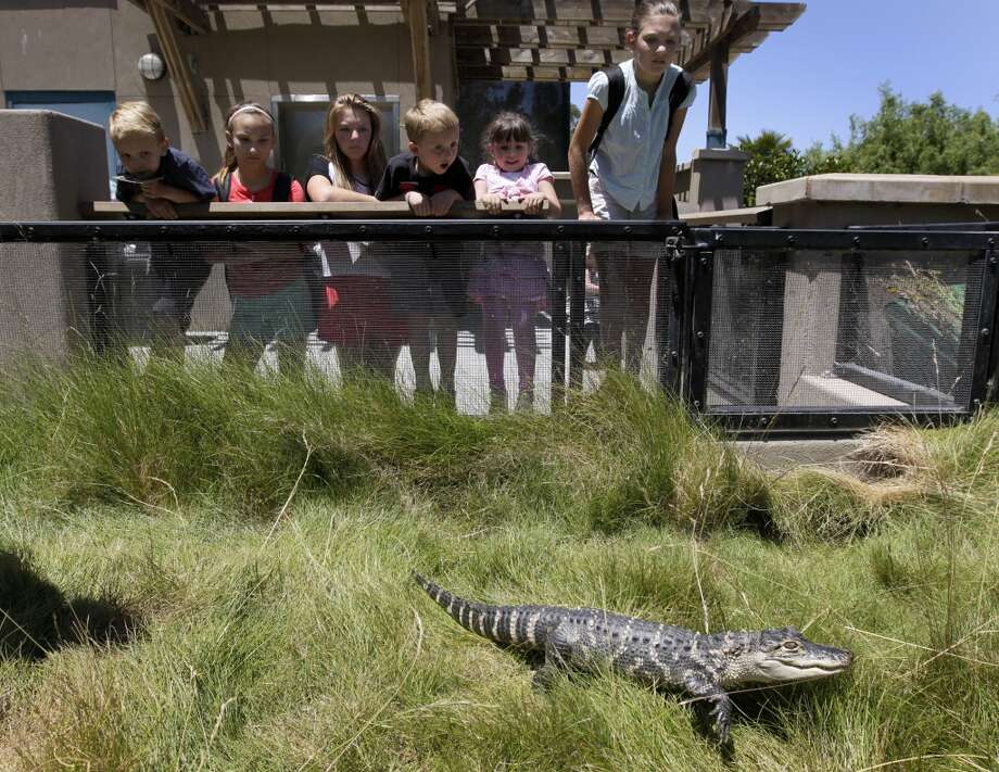 Young visitors stare at Duchess moving through the grass at the Oakland Zoo in Oakland, Calif. on Thursday, June 20, 2013. The zoo has been nursing the 2-year-old American alligator back to health after authorities seized the reptile during a drug raid at a Fairfield home several weeks ago. Duchess will be shipped off to her permanent home at a zoo in St. Augustine, Fla., in the next couple of weeks.