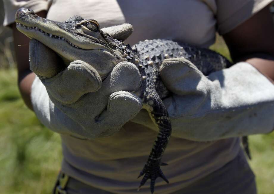 Ashley Terry carries Duchess, a 2-year-old American alligator, back to her temporary home after an exercise period at the Oakland Zoo.