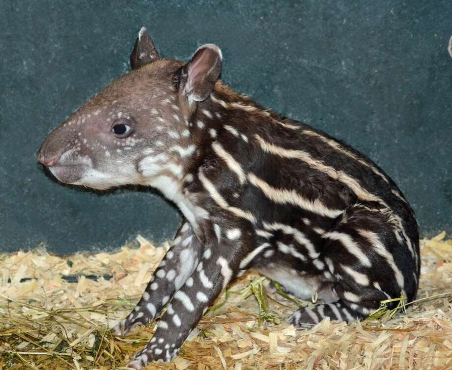 One of Greenwich's newest residents, Squeak, a female Brazilian tapir, was born June 13 at the LEO Zoological Conservation Center in Greenwich. Photo: LEO Zoological Conservation Cent