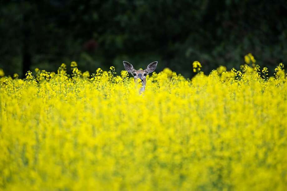 A deer peeks out from a field on South Baltimore Road on Monday, June 24, 2013, in Spokane, Wash.  (AP Photo/The Spokesman-Review, Tyler Tjomsland) Photo: Tyler Tjomsland, Associated Press