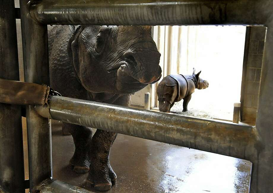 How did you get up on that rail?Baby rhino Ethan is not as small as he looks - the camera angle makes him appear to be standing on the gate to his pen at the Mongomery (Ala.) Zoo. Photo: Mickey Welsh, Associated Press
