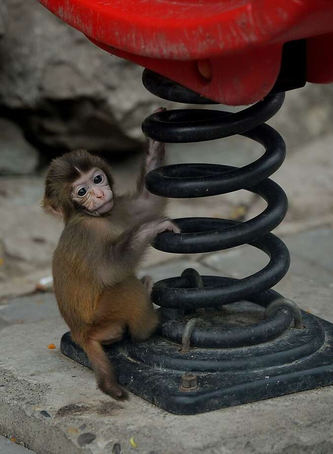 Macaque absorber:A baby Asian macaque checks out a big spring in its enclosure at the Beijing Zoo. Photo: Mark Ralston, AFP/Getty Images