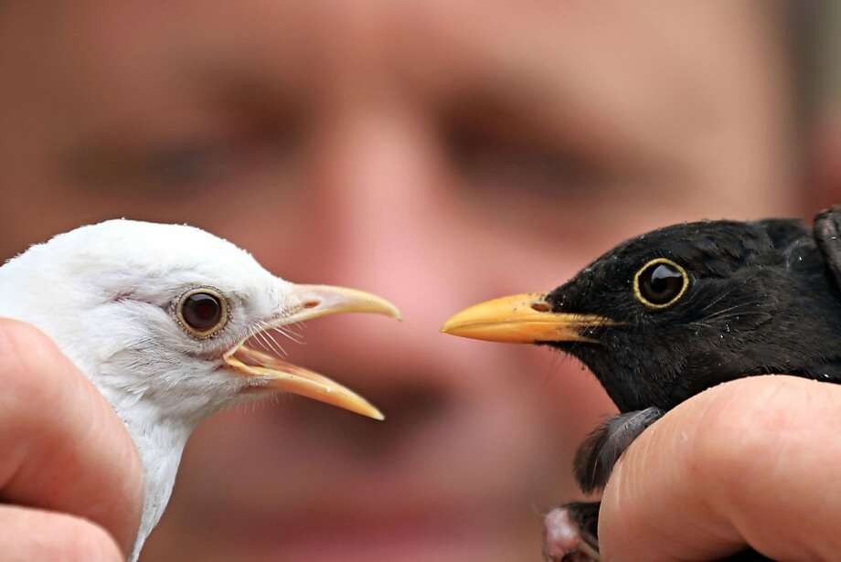 Leave me alone! A rare albino blackbird squawks at a regular blackbird at an animal 