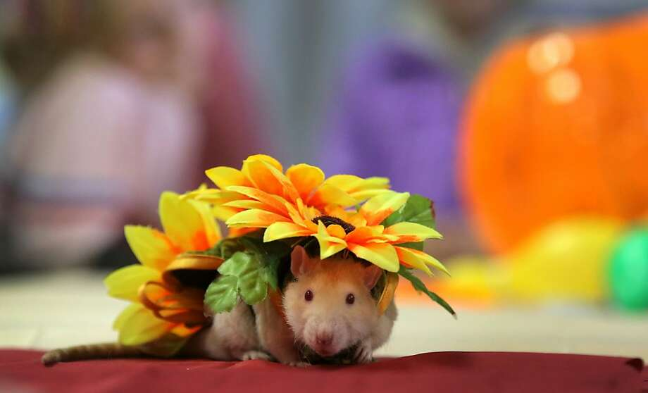 Look like the innocent flower, but be the rodent under't. (Dyatlik the rat attends a pet exhibition in Minsk.) Photo: Sergei Grits, Associated Press