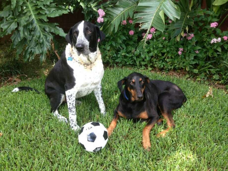 "Pickles, left, and Hans, canine companions of Houston author Posey Parker, will appear June 29 at the Houston SPCA to ""pawtograph"" their new e-book and iBook, ""Pickles and the World Cup."" Photo: Houston SPCA"