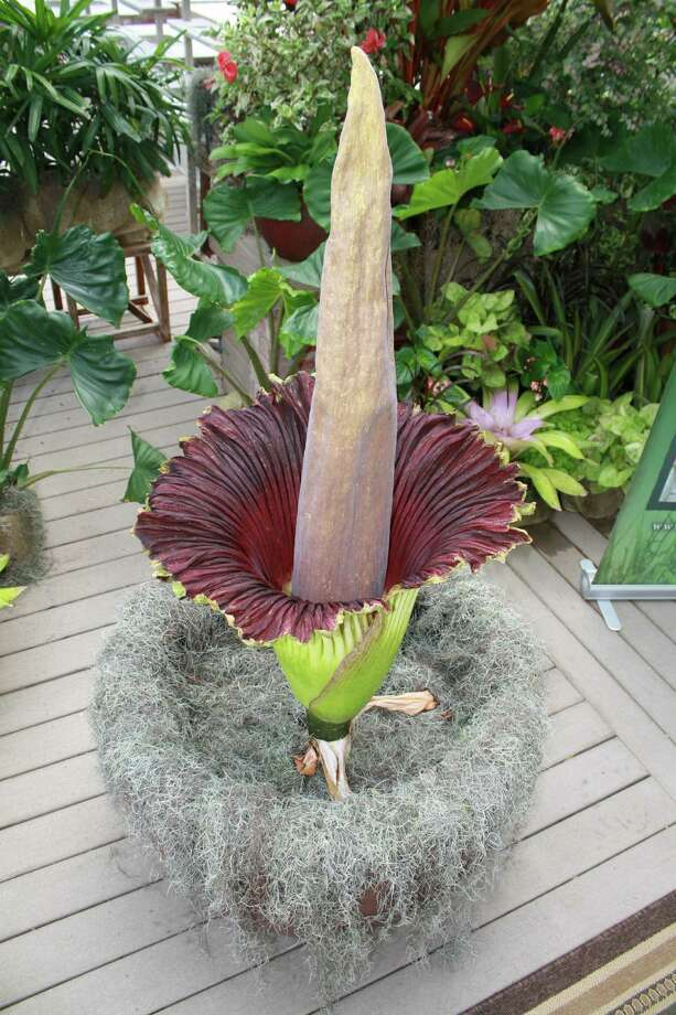 Lenore, an endangered corpse flower,at the Shangri La Botanical Gardens in Orange, TX. Lenore is expected to stay bloomed anywhere from 24 to 48 hours before she wilts and collapses. Photo taken June 23, 2013. Photo: Jose D. Enriquez III