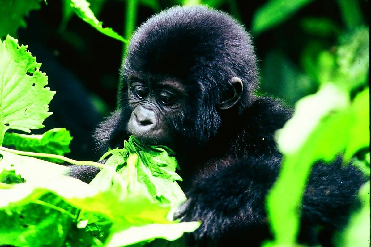 Uganda has the highest concentration of primates in the world, including the rare mountain gorilla.