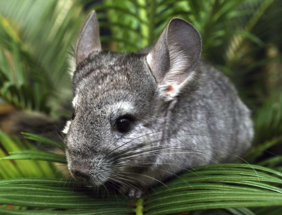 """Long prized for its fur, the chinchilla, or chin, is gaining considerable traction as a pet. Rescue centers are reporting booming numbers of chins going, especially, to young single people and, occasionally, to tech companies as office pets. And they're scurrying in an enormous prominent enclosure by the Petco registers.  """"The Apple people came first, then people from Google,"""" said the president of the California Chins Association, Lani Ritchey, who runs a rescue center out of her home. """"They wanted some chins to live in their playrooms where the engineers go to lounge and have their junk food. They look like Pikachus, so they think that's cute.""""  Chinchillas may be trending now, but many stranger pets have trended through the ages"""