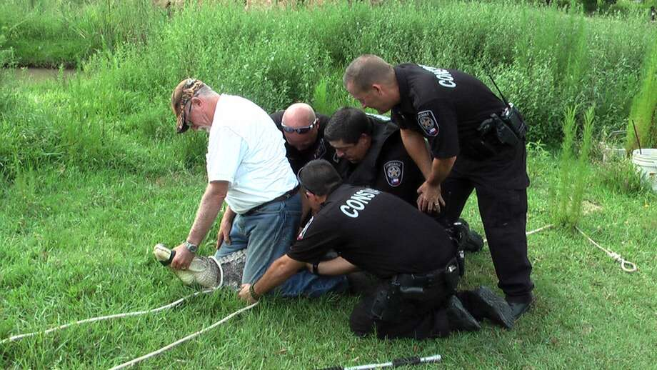 Hal Newsome, a trapper certified by Texas Parks and Wildlife, and deputy constables wrangle a 100-pound, 6-foot alligator during a drug bust Tuesday in Splendora. Newsome released the gator in a swamp area on his New Caney ranch.