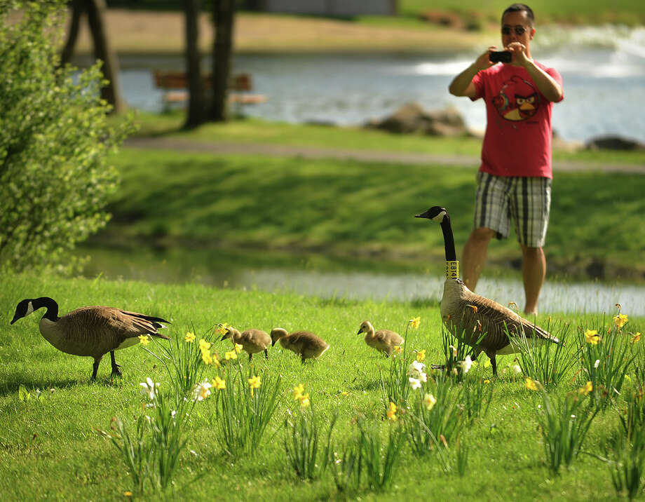 Tae Kim of Trumbull snaps a photo of a family of Canada geese during a visit to Twin Brooks Park in Trumbull, Conn. on Sunday, May 12, 2013. Photo: Brian A. Pounds / Connecticut Post