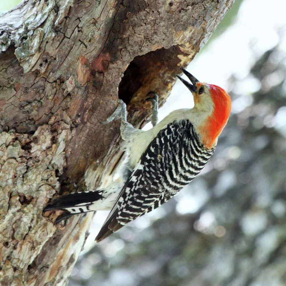 This red-bellied woodpecker was checking out an old nest cavity in a cedar elm near the Mims' country office. Photo: Forrest M. Mims III / For The Express-News