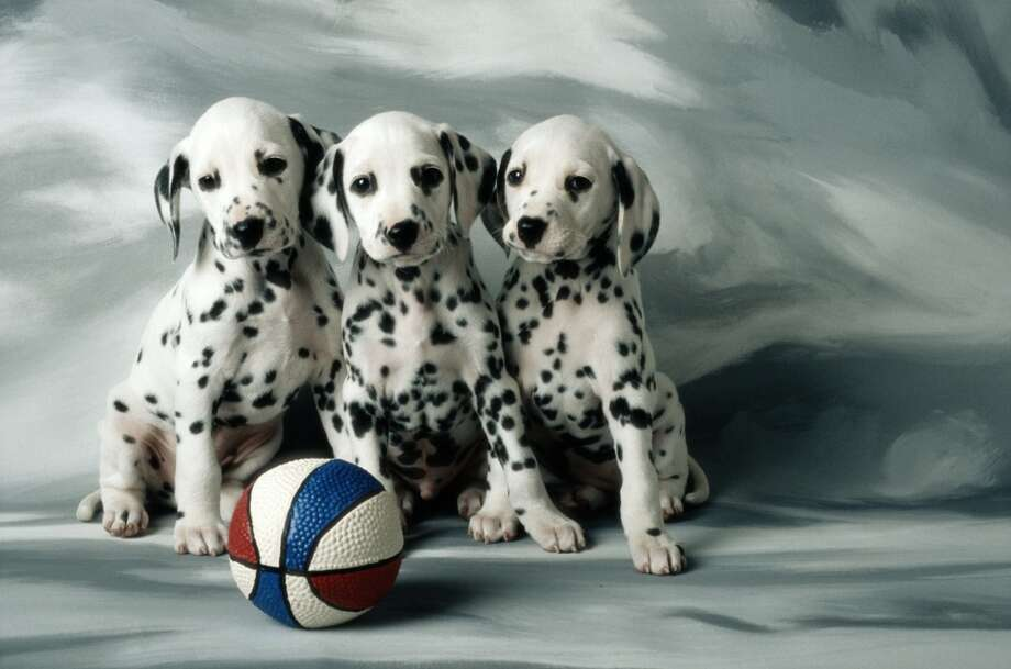 In the mid-1990s, animal shelters were flooded with dalmatians once families learned (the hard way) that the dogs were not very kid-friendly.