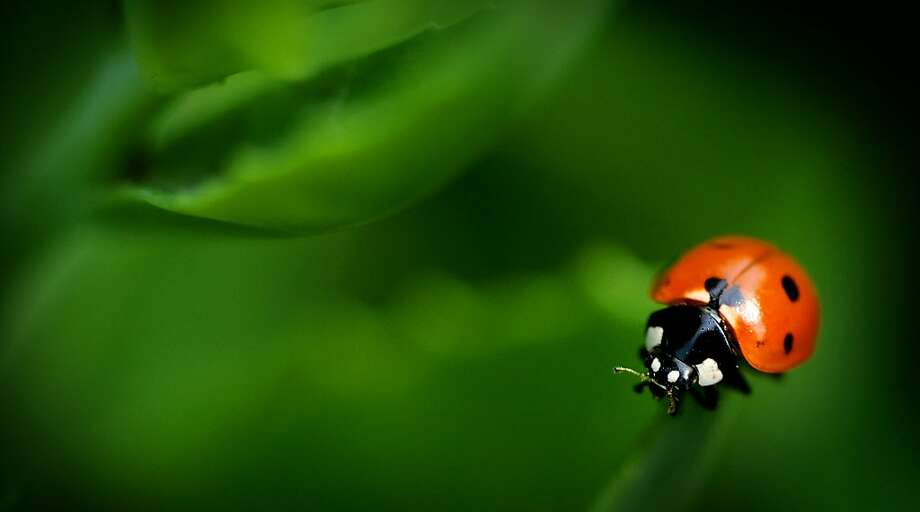 Loved by farmers, feared by aphids: A ladybug clings to the edge of a Stone Crop Sedum leaf 