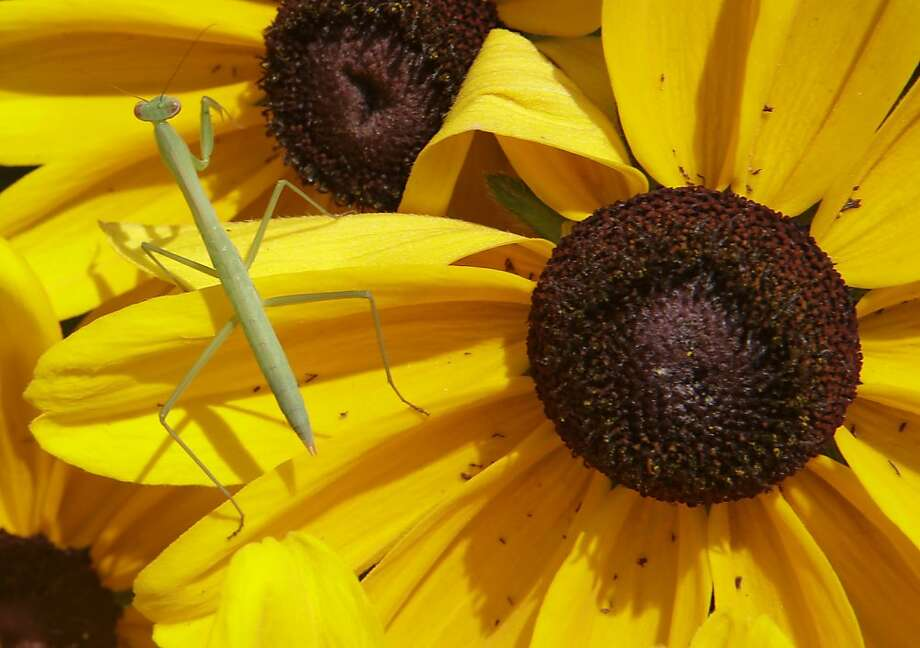 Cross-eyed Susan: A praying mantis crosses black-eyed Susans at Eden Park in Cincinnati. Photo: Al Behrman, Associated Press