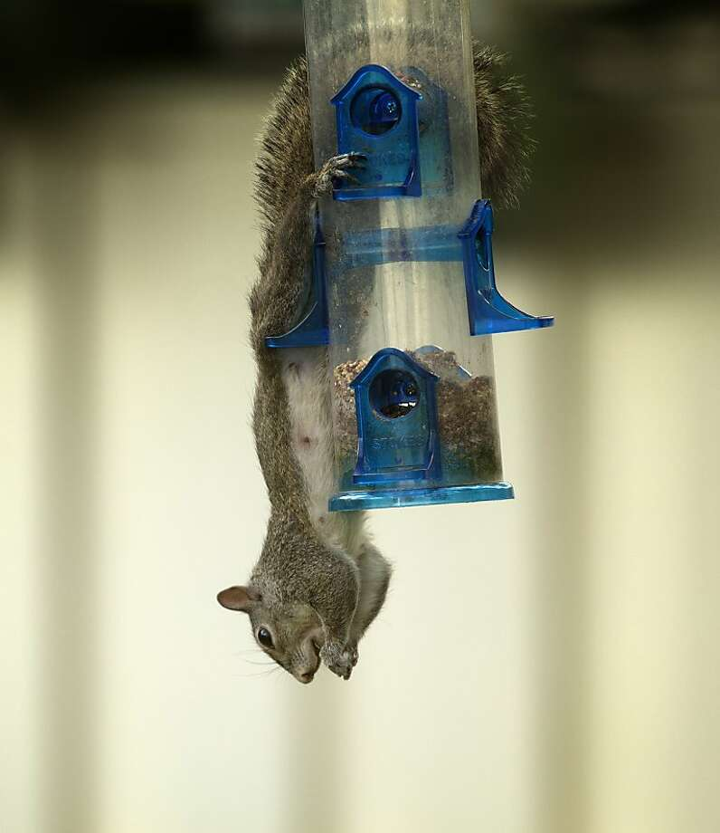 Stolen bird feed tastes better. (Pembroke Pines, Fla.) Photo: J Pat Carter, Associated Press