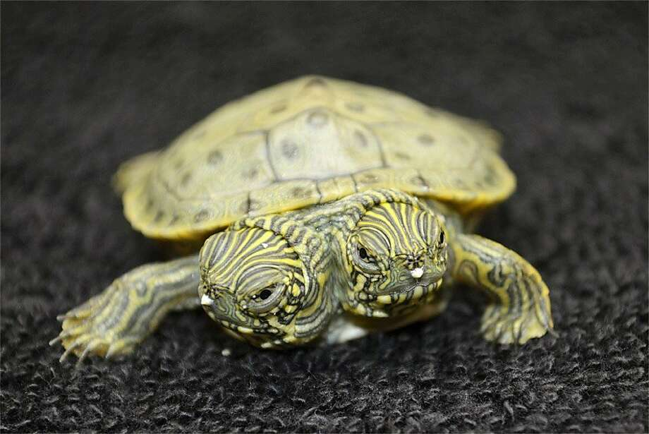 Failure of democracy: I want to go left, you want to go right, so let's vote on it ... Oh, great, tied again! (Two-headed Texas cooter turtle born last week at the San Antonio Zoo.) Photo: San Antonio Zoo, Associated Press
