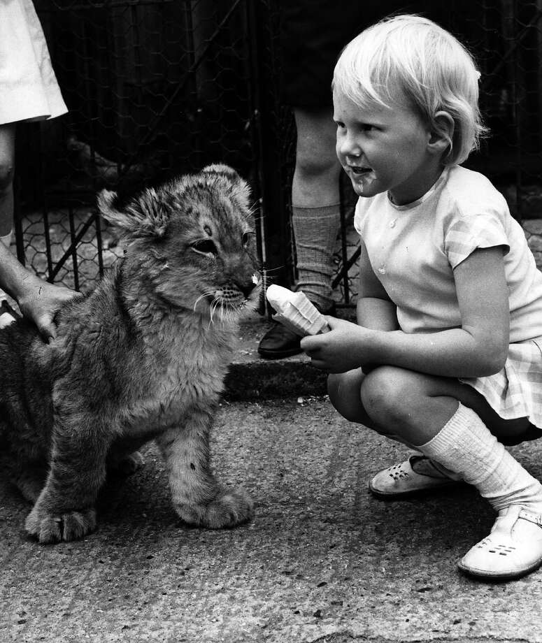 Letting babies feed lions is always a good idea, especially when ice cream is involved. Photo: Evening Standard, Getty Images / Hulton Archive